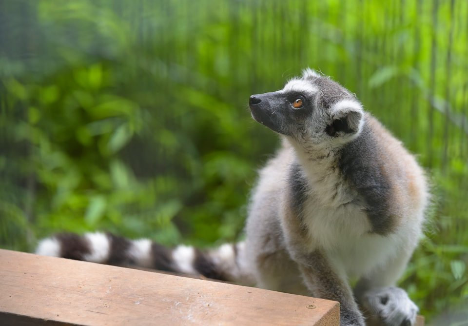 Wonder ring-tailed lemur with a pretty gaze