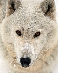 Wolf in a recent snow fall