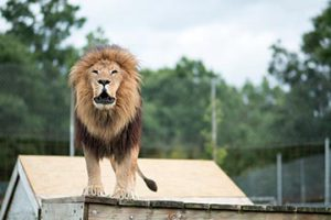 Why do lions roar? Ra Lion knows! Photo by Kevin Robinson.
