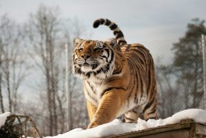 Freya Tiger stretching in the snow