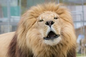 Why do lions roar? Enoch Lion knows! Photo by Kathy Patterson.