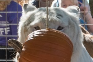 Arthur Tiger, the friendliest tiger ever, considers a pumpkin. Original photo by Kathy Patterson.