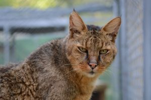Termite Chausie glaring at the viewer.