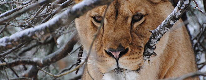 Kira Lioness among icy branches