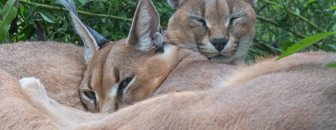 Naja and Asher Caracals lazing around.