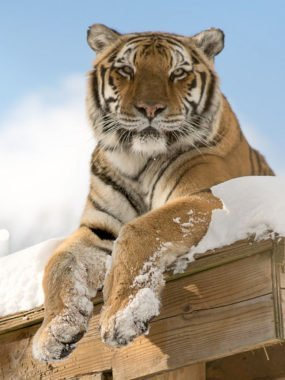 Freya tiger, perched on a snowy denbox, looking serene