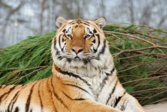 Wic Tiger looking very royal.