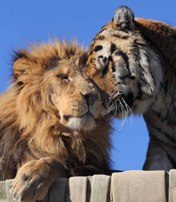 Calvin Lion and Wic Tiger by Taylor Hattori Images