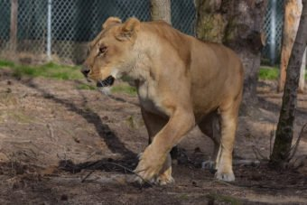 Ice Lioness, our newest resident!