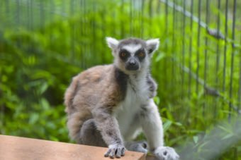 Cookie Ring-tailed Lemur