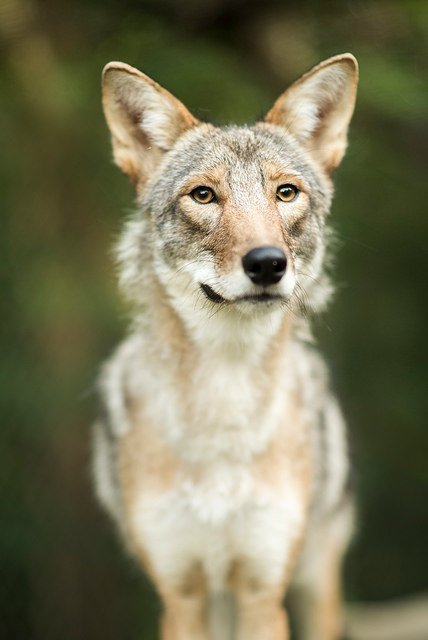 coyote portrait