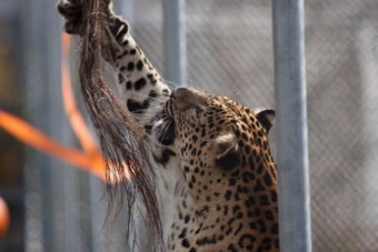 Leopard grabbing a cinnamon broom